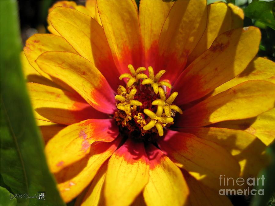 Zinnia Elegans Photograph - Zinnia Named Swizzle Scarlet And Yellow by J McCombie