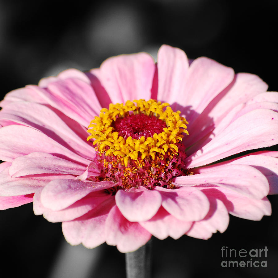 Zinnia Pink Flower Floral Decor Macro Sqaure Format Color Splash ...