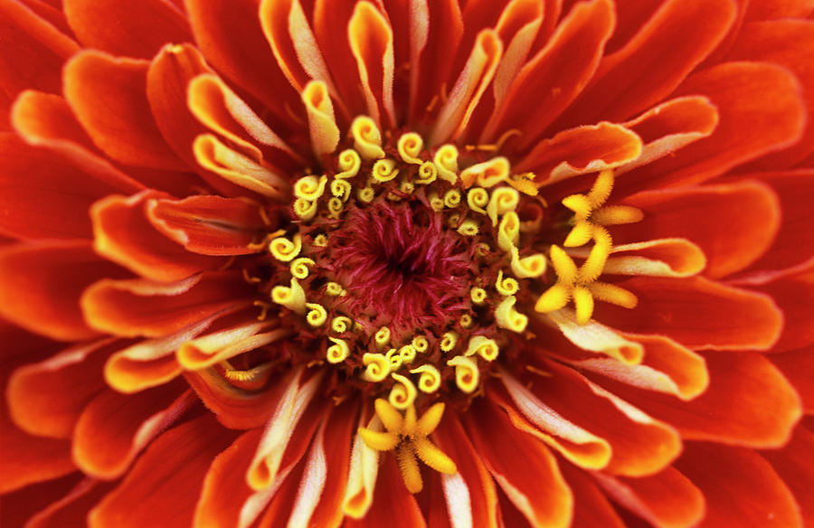 Zinnia Photograph - Zinnia (zinnia dreamland Coral) by Jane Sugarman/science Photo Library