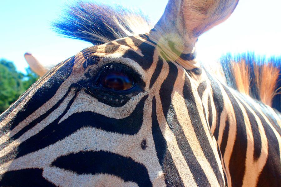 Zebra Photograph - Zoomed Zebra by Jennifer Gillis