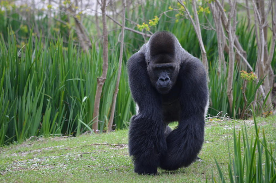 Male Photograph - Zootography Of Male Silverback Western Lowland Gorilla On The Prowl by Jeff at JSJ Photography