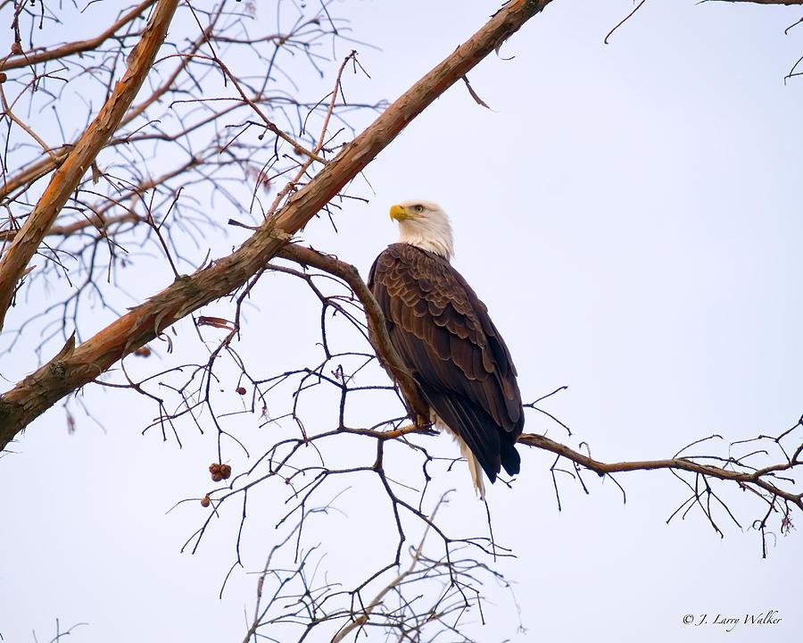 Walker Digital Art -  Bald Eagle On Black Bayou by J Larry Walker