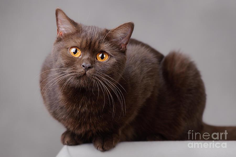 Cat Photograph -  British Chocolate 2 by Waldek Dabrowski