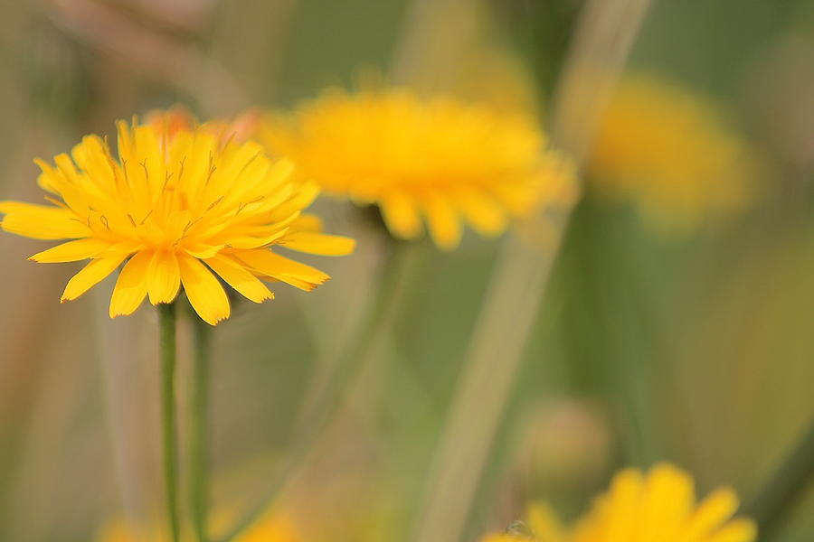 Dandelions Photograph -  Dandelions by Karen Grist