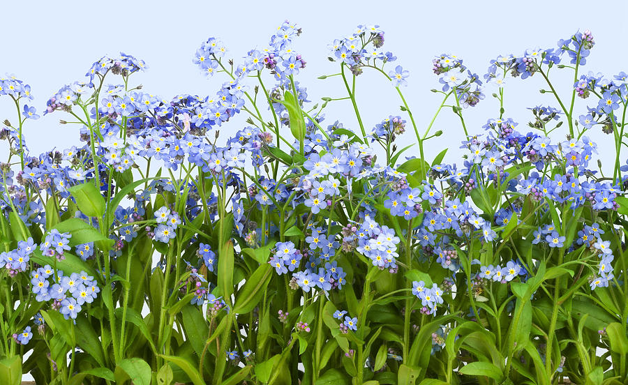 Spring Photograph -  Forget-me-nots Plant  by Aleksandr Volkov
