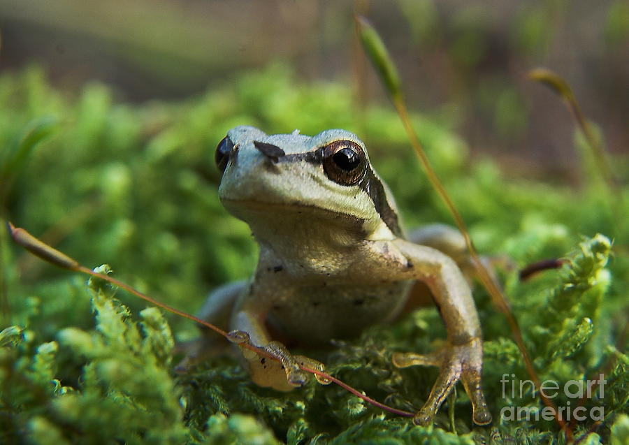 Nature Photograph -  Frog by Odon Czintos