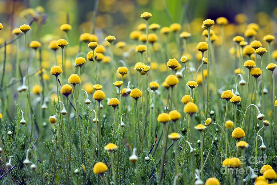 Little yellow flowers photograph by patty malajak yellow flowers photograph little yellow flowers by patty malajak mightylinksfo