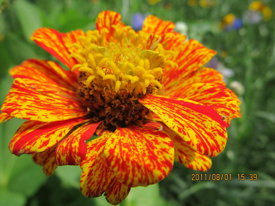 Flowers Photograph -  Lovely Orange Speckles by Tina M Wenger