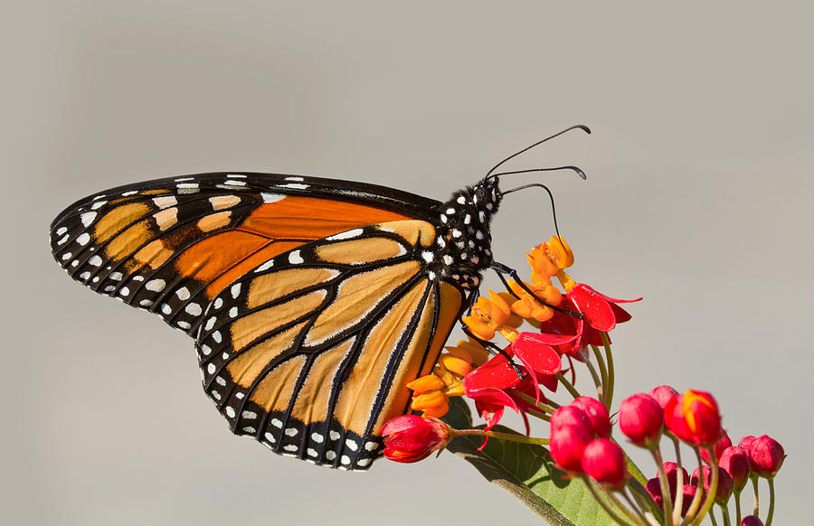 Monarch Photograph -  Monarch Butterfly  by Mircea Costina Photography