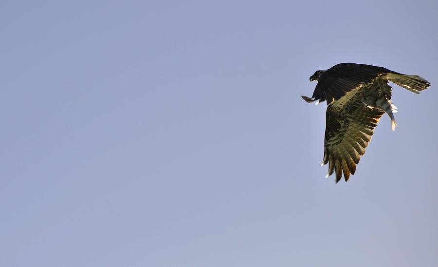 Osprey Photograph -  Osprey Lunch To Go III by Christine Stonebridge