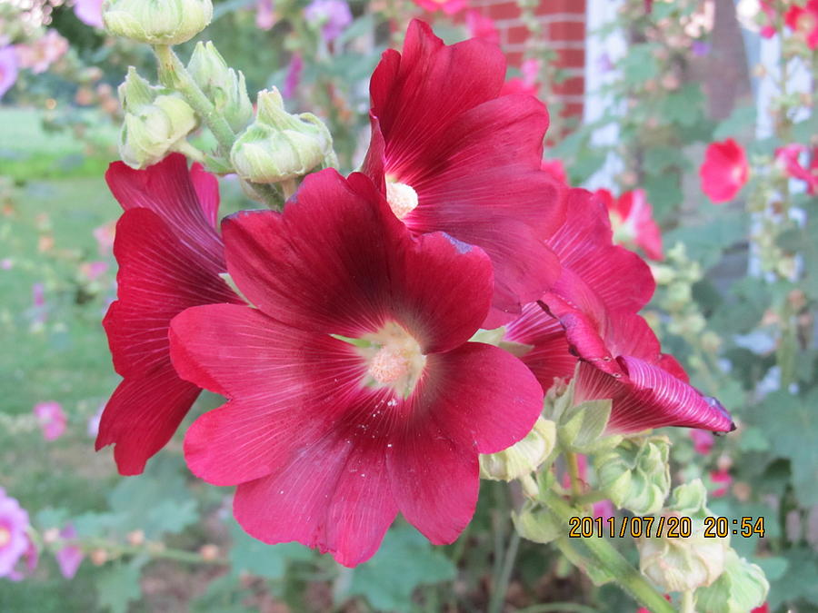 Flowers Photograph -  Red Hollyhock by Tina M Wenger