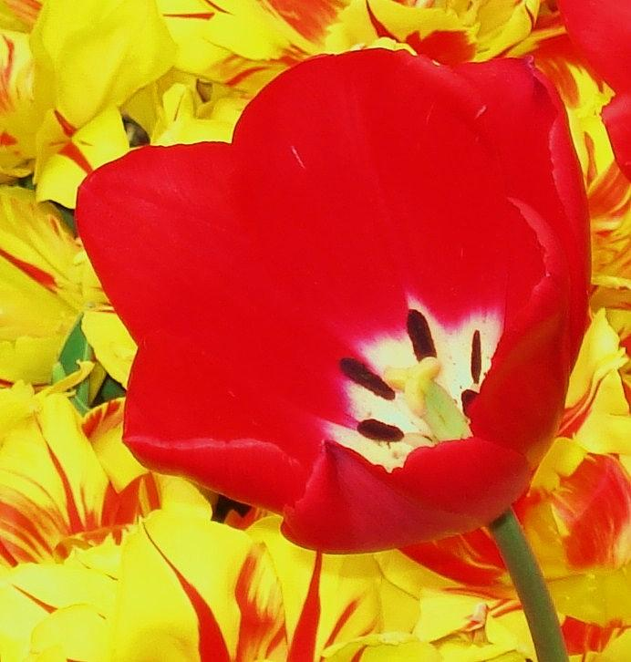 Red Photograph -  Single Red Tulip by Jolie Maybaum
