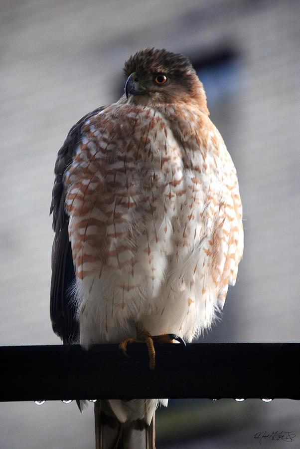 06 Falcon Photograph by Michael Frank Jr