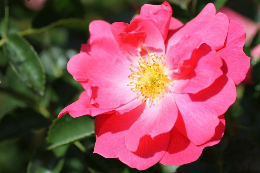 Rose Photograph - 06182012 012 by Mark J Seefeldt
