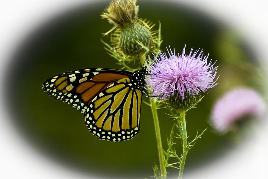 Monarch Photograph - 091712-149 by Mike Davis