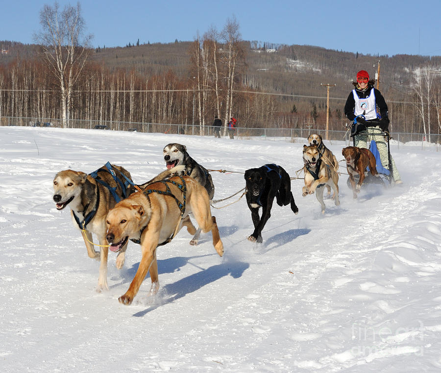 Sled Dogs Photograph - 2010 Limited North American Sled Dog Race by Gary Whitton