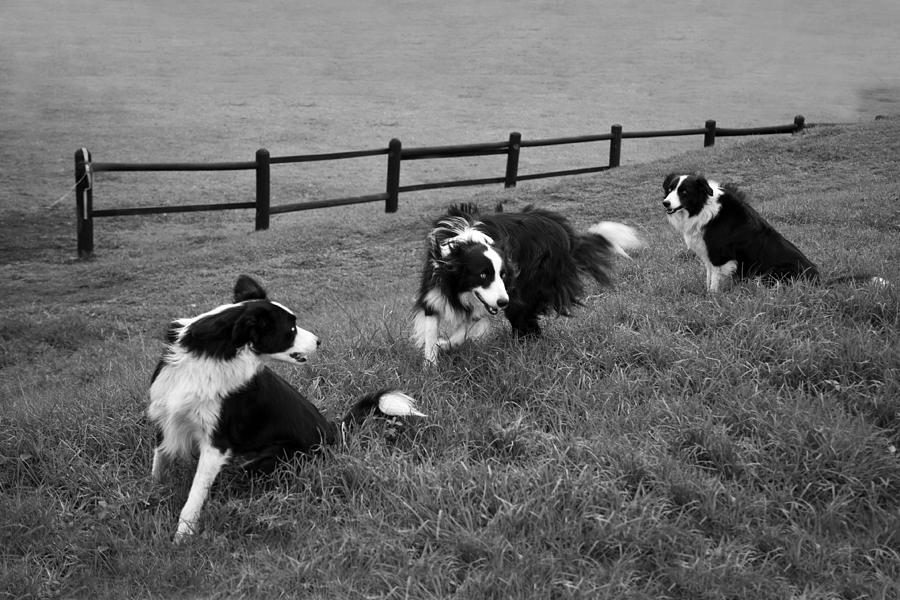 Epic Photograph - 3 Collies by Miguel Capelo