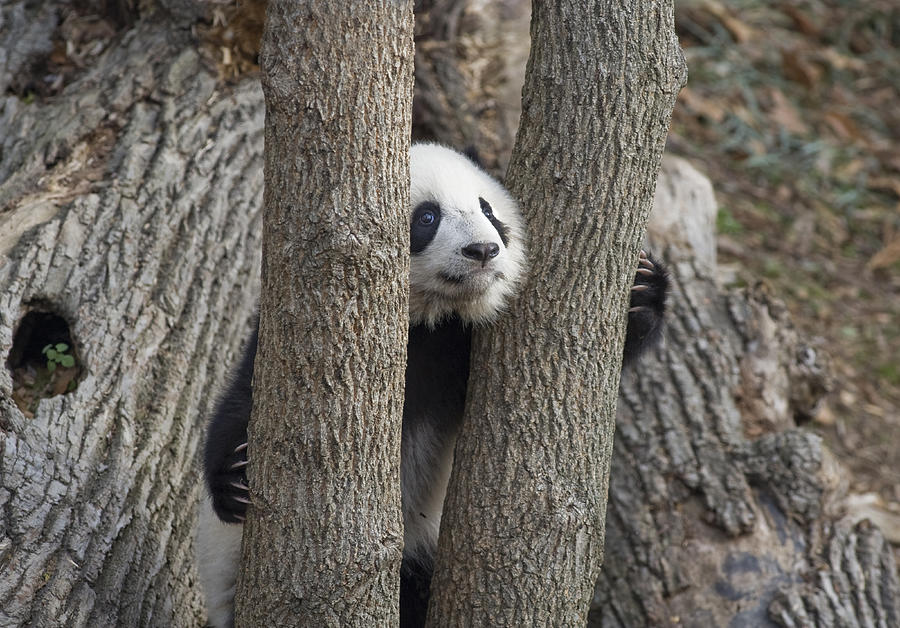 Panda Photograph - A Baby Panda Plays On A Branch by Taylor S. Kennedy