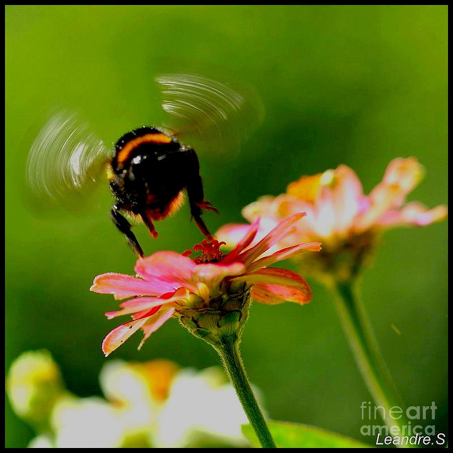A Bee Photograph - A Bee by Sylvie Leandre