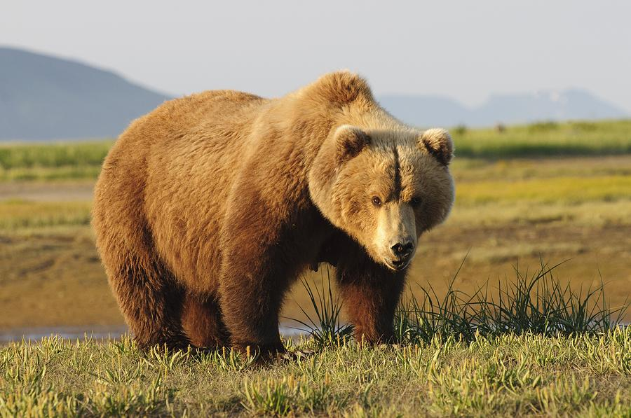 A Brown Grizzly Bear Ursus Arctos Photograph By Deb Garside