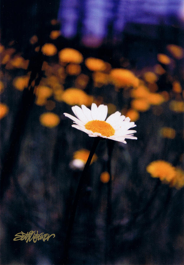Optimism Photograph - A Daisy Alone by Seth Weaver