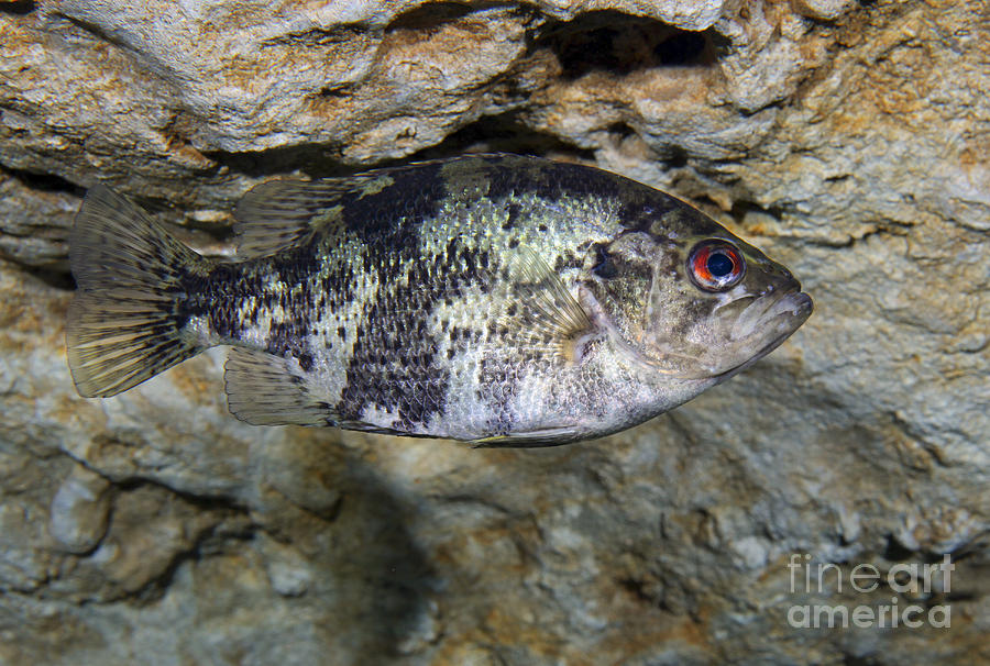 Fish Photograph - A Shadow Bass Hovers Motionless by Terry Moore