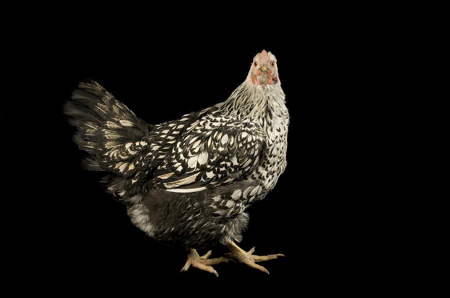 Roca Photograph - A Silver Laced Wyandotte Chicken by Joel Sartore
