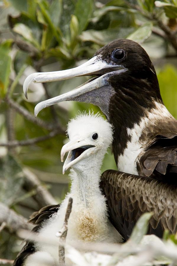 Protection Photograph - Adult Frigatebird Fregata Species by Tim Laman