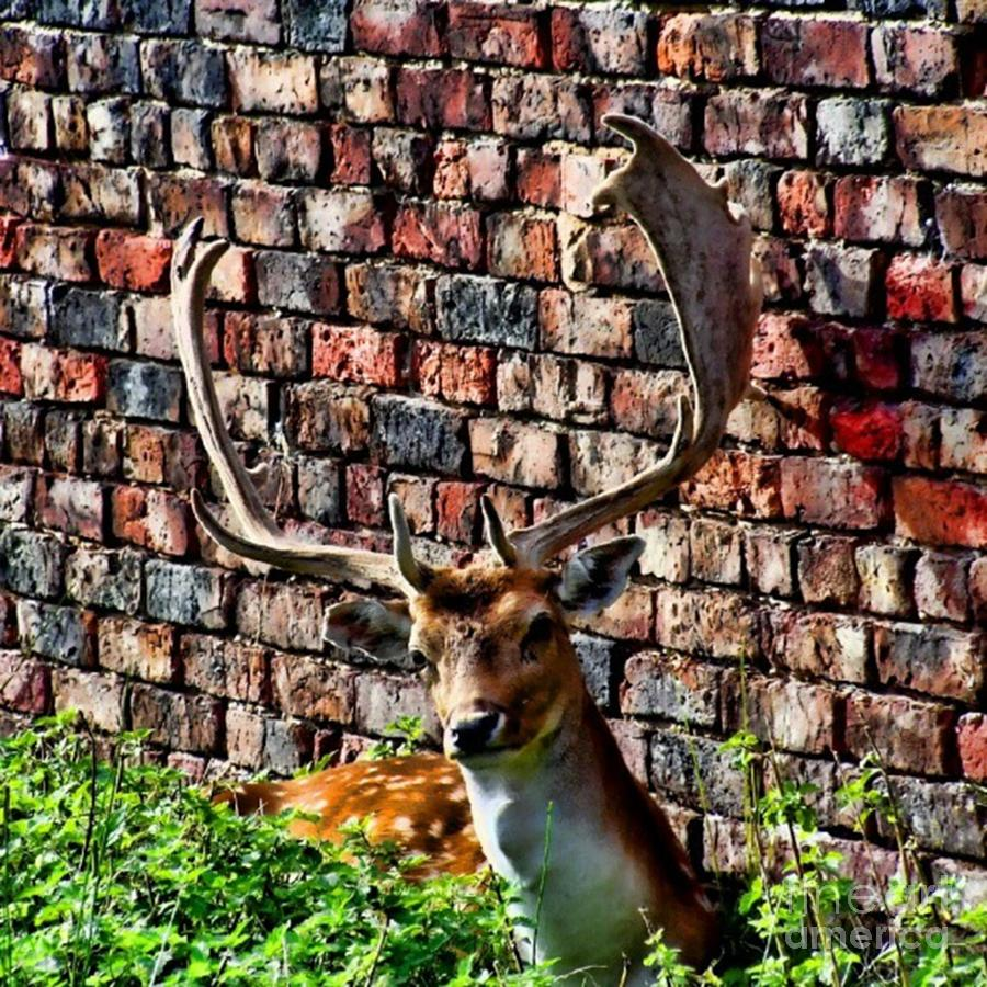 Deer Photograph - Against The Wall by Isabella F Abbie Shores FRSA