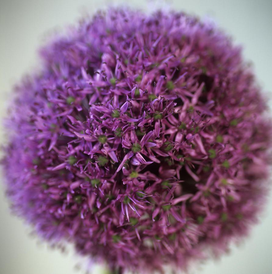 Plant Photograph - Allium Flower (allium Sp.) by Cristina Pedrazzini