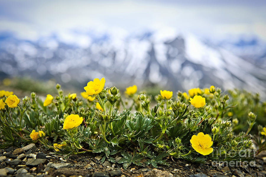 Alpine Photograph - Alpine Meadow In Jasper National Park by Elena Elisseeva