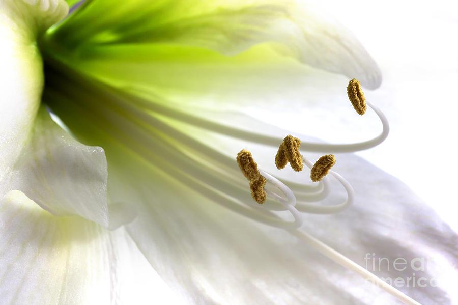 Hippeastrum Photograph - Amaryllis by Jane Rix