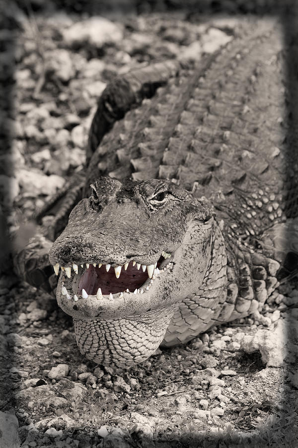 Close-up Photograph - American Alligator by Rudy Umans