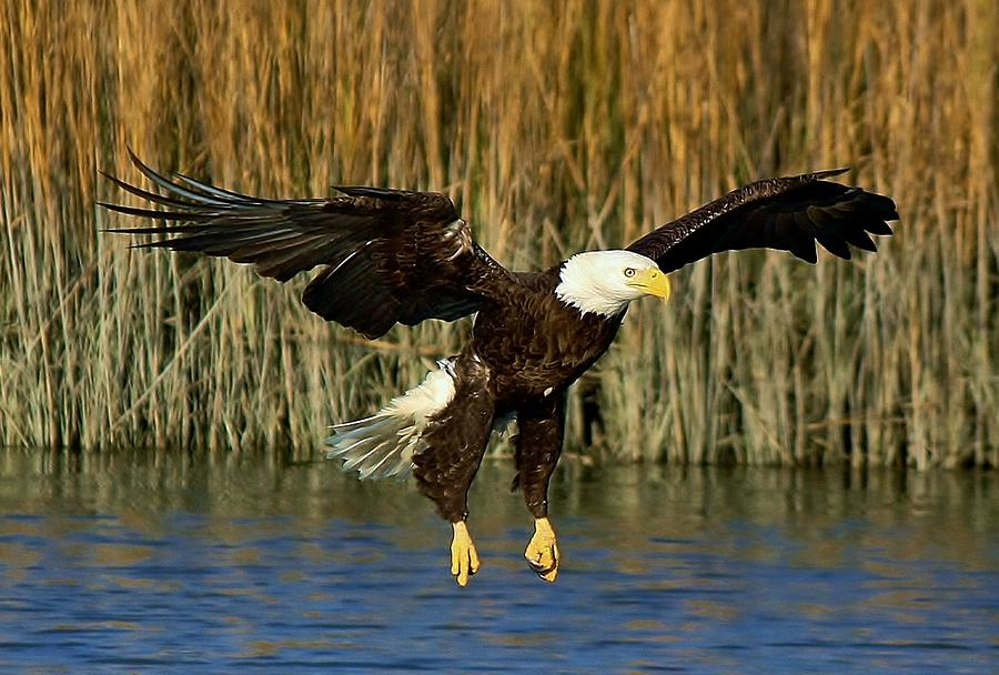 Eagle Photograph - American Bald Eagle by Paulette Thomas