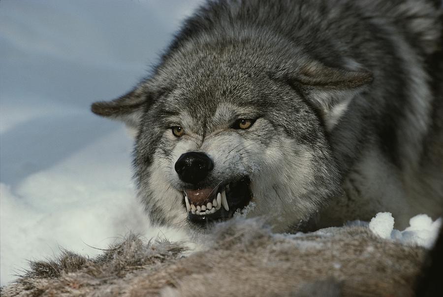 Wolf Zähne Fletschen
