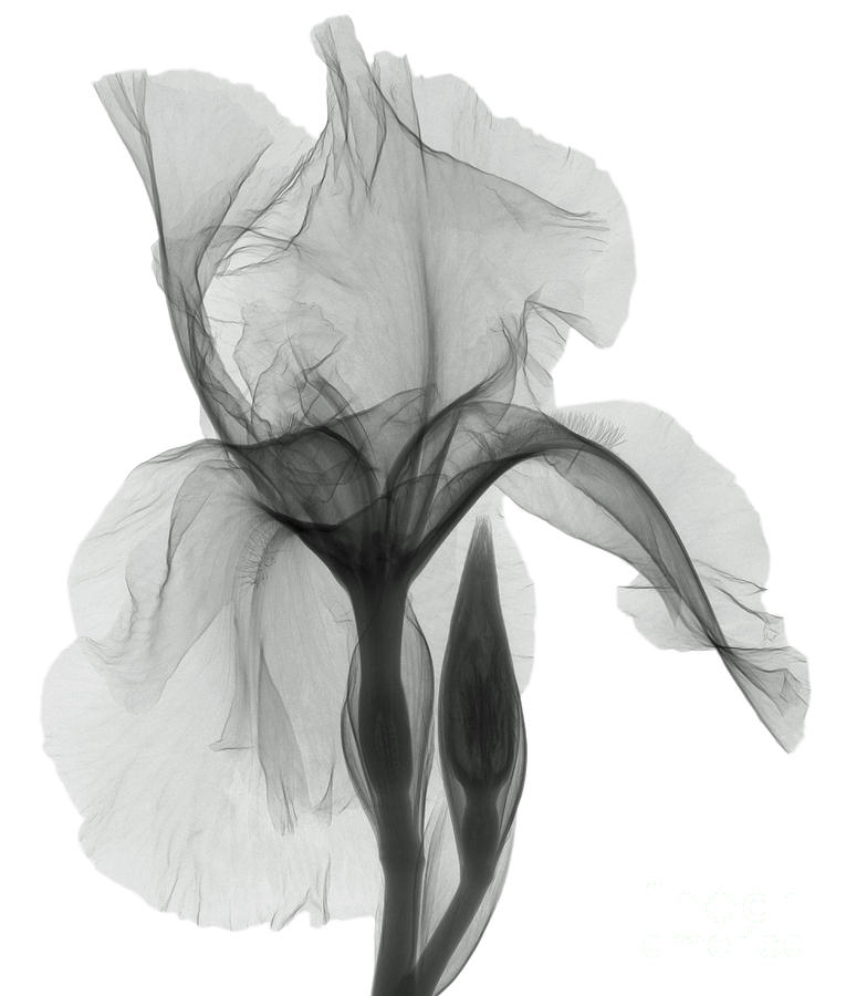 an x ray of an iris flower photograph by ted kinsman