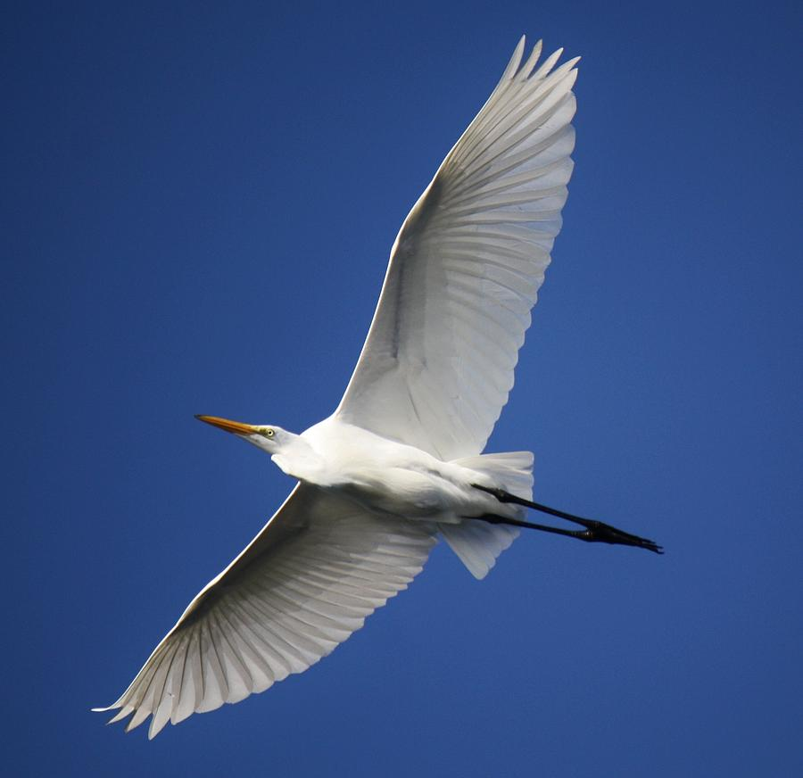 Great White Egret Photograph - Angelic by Paulette Thomas