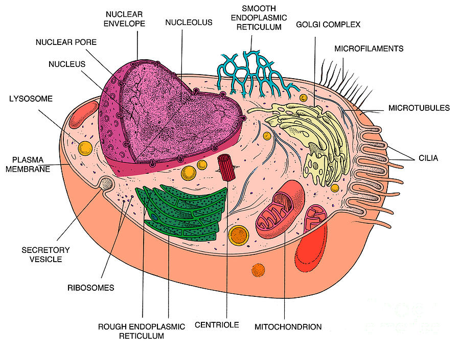 Science Photograph - Animal Cell Diagram by Science Source