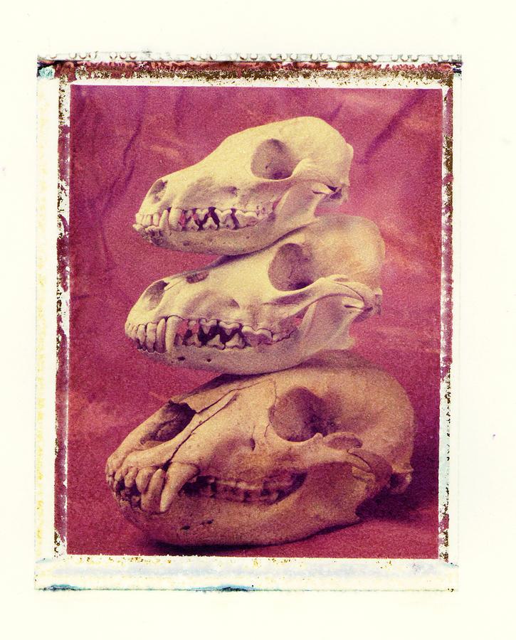 Animal Skulls Fox Wolf Bear Still Life Photograph - Animal Skulls by Garry Gay