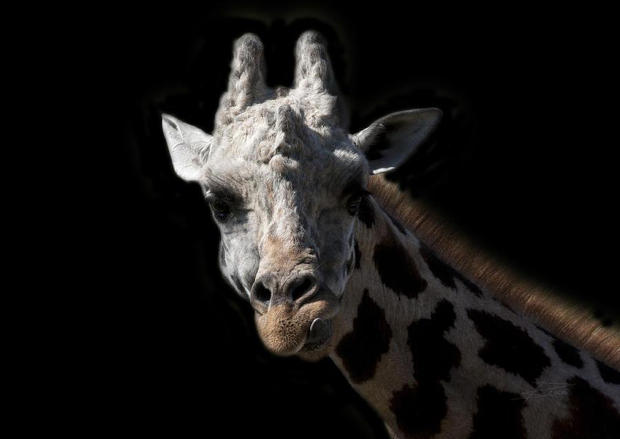 Giraffe Photograph - Anticipation by Barbara  White