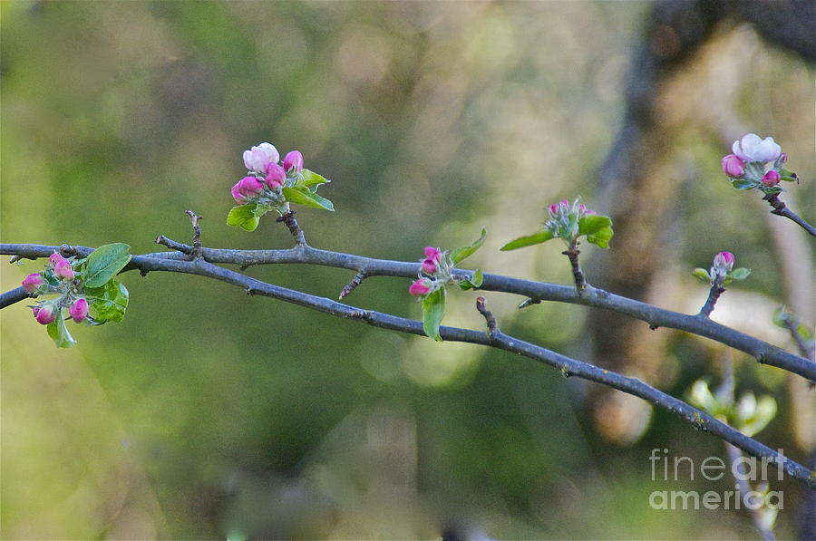 Photography Photograph - Apple Blossoms by Sean Griffin