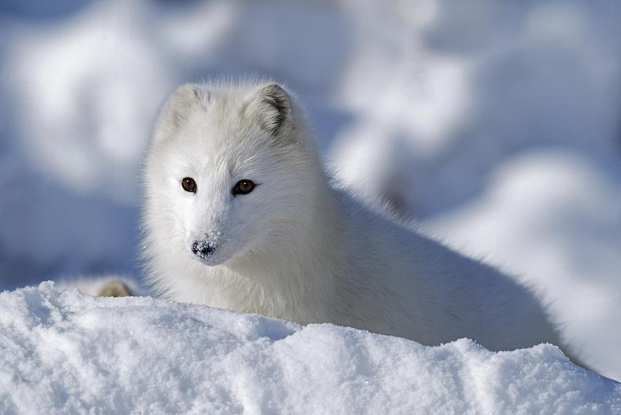 Alopex Lagopus Photograph - Arctic Fox Exploring Fresh Snow Alaska by David Ponton
