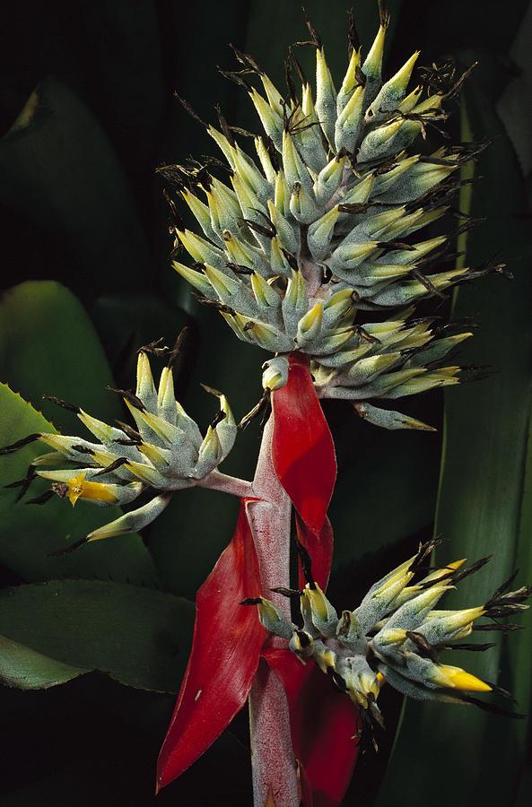 Mp Photograph - Atlantic Forest Bromeliad Brazil by Mark Moffett