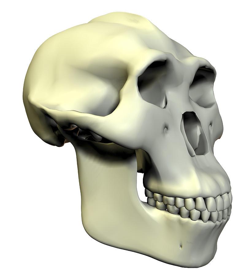 Australopithecus Boisei Skull Photograph By Friedrich Saurer
