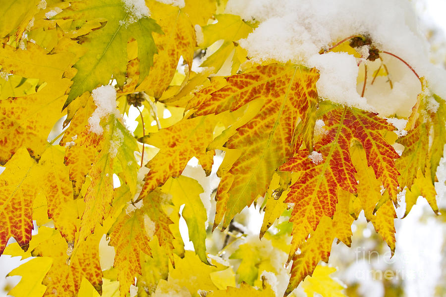 Snow Photograph - Autumn Snow  by James BO  Insogna