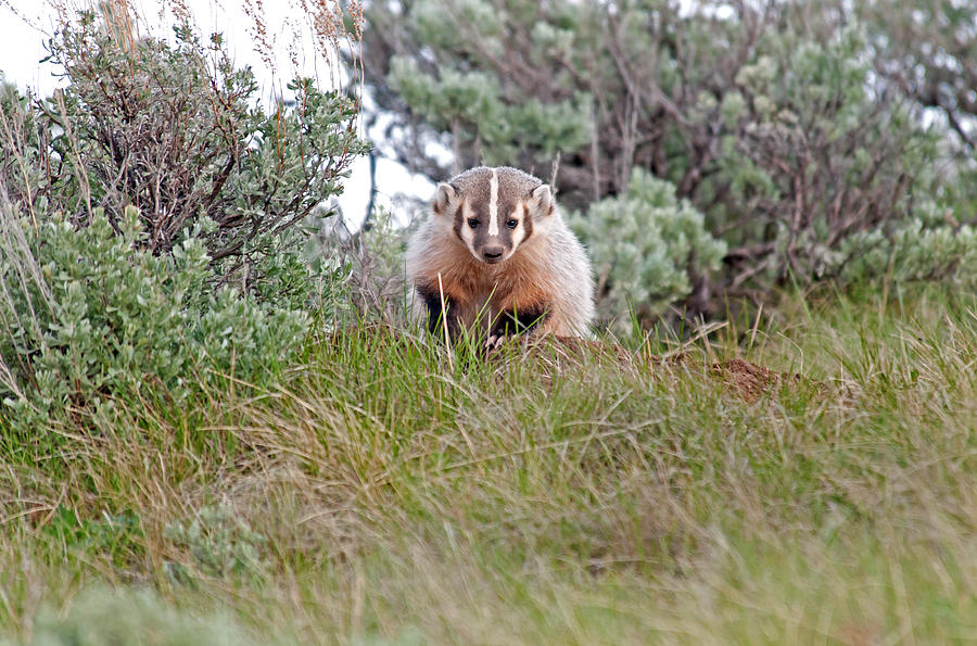 American Badger Photograph - Badger by Elijah Weber
