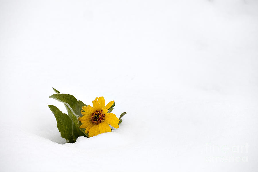 Plant Photograph - Balsamroot In Snow by Hal Horwitz and Photo Researchers