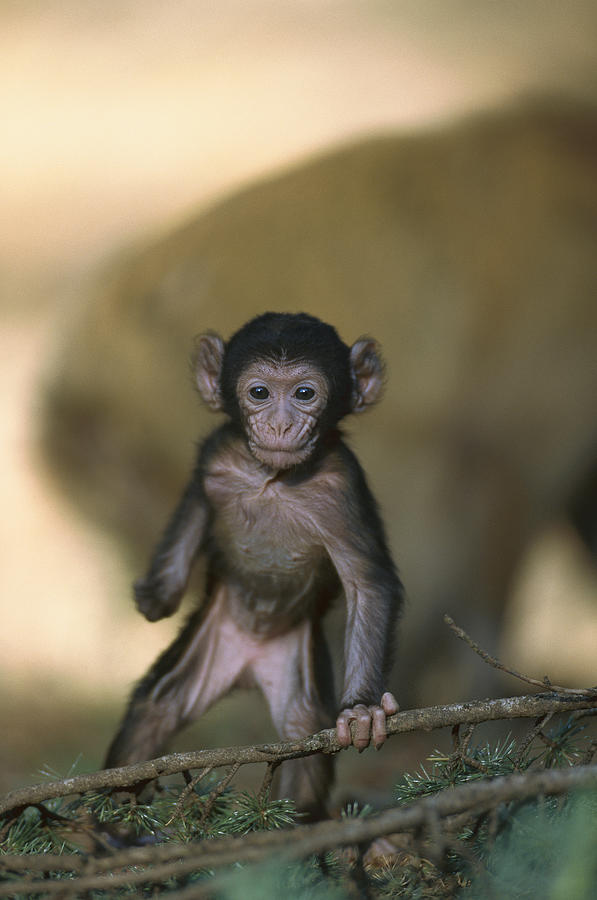 Barbary Macaque Macaca Sylvanus Infant Photograph by Cyril Ruoso