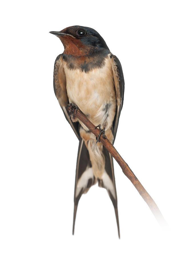 Barn Swallow Perched On A Branch - Hirundo Rustica ...