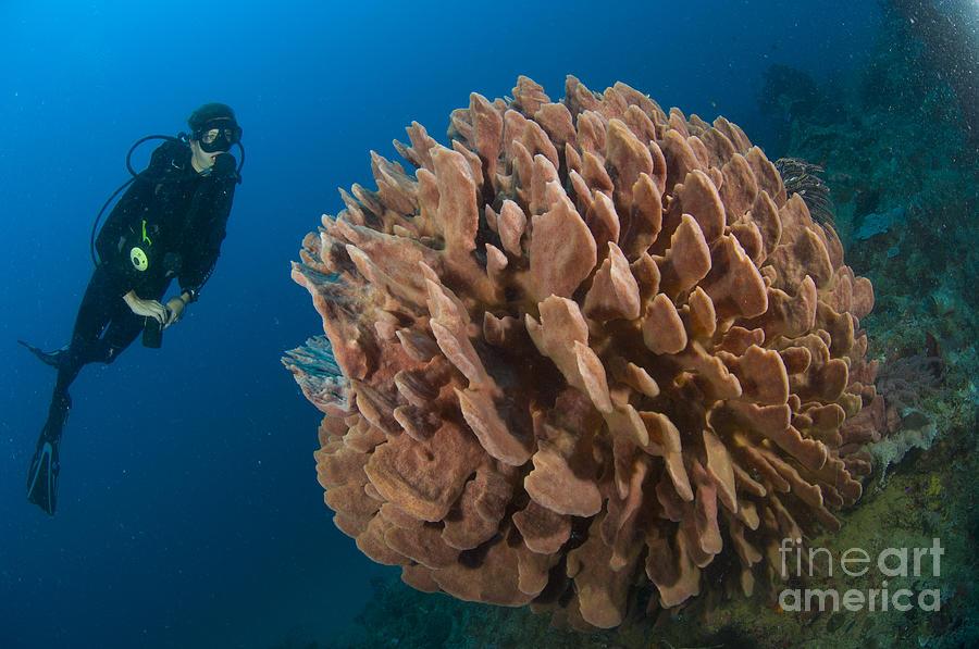 Invertebrate Photograph - Barrel Sponge And Diver, Papua New by Steve Jones